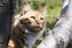 Ginger cat in a tree Royalty Free Stock Image