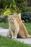 Ginger cat twins. Cat twins sitting symmetrically in garden Royalty Free Stock Photography