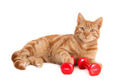Ginger cat with two red dumbbells Stock Photos