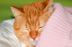 Ginger cat under the blanket. Ginger cat under the pink blanket Royalty Free Stock Photo