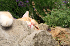 Ginger cat under the influence of catnip. Stock Photos