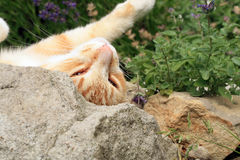 Ginger cat under the influence of catnip. Royalty Free Stock Images