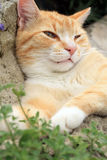 Ginger cat under the influence of catnip. Stock Photography
