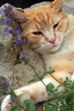 Ginger cat under the influence of catnip. Stock Photo