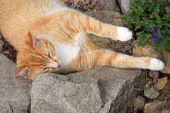 Ginger cat under the influence of catnip. Royalty Free Stock Image