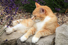Ginger cat under the influence of catnip. Royalty Free Stock Photo