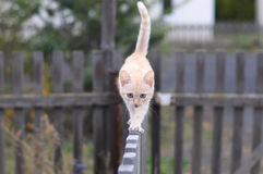 Ginger cat walking on a fence Royalty Free Stock Photo