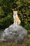 Ginger cat walking outdoor Royalty Free Stock Images