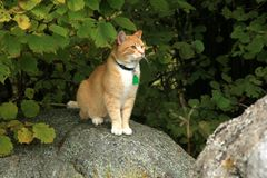 Ginger cat walking outdoor Royalty Free Stock Photography