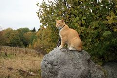 Ginger cat walking outdoor Royalty Free Stock Image
