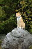 Ginger cat walking outdoor Royalty Free Stock Photo