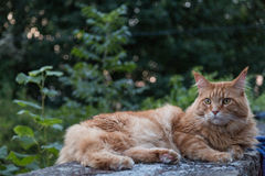ginger cat on wall Royalty Free Stock Image