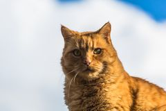Ginger Cat on the roof royalty free stock photography