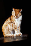 Ginger cat washes on a black background Stock Images