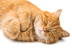 Ginger cat. On a white background Royalty Free Stock Image