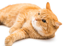 Ginger cat. On a white background Royalty Free Stock Photography