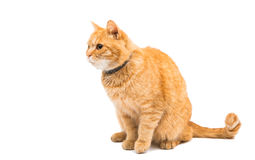 Ginger cat. On a white background Stock Images
