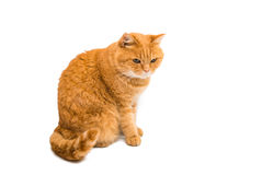 Ginger cat. On white background Royalty Free Stock Images