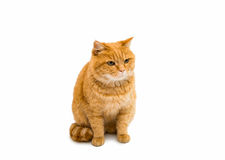 Ginger cat. On white background Royalty Free Stock Image