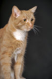 Ginger cat with white breast Stock Images