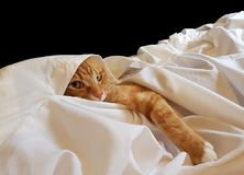 Ginger cat in white linen, playing. Ginger cat inside a white bedding slip, playing hide and go seek. He looks a little cheeky Stock Image