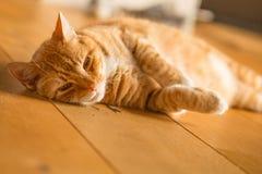 Ginger cat on wooden floor Stock Photos