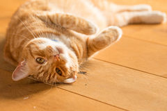Ginger cat on wooden floor Royalty Free Stock Images