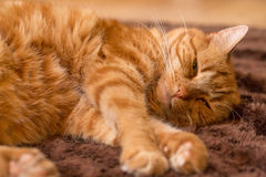 Ginger cat on wooden floor Royalty Free Stock Photography