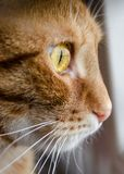 Ginger cat from the profile. Ginger cat with yellow eye captured from the profile, white whiskers stock photo