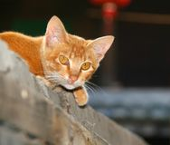 Ginger cat with yellow eyes Royalty Free Stock Photo