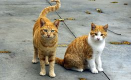 Ginger cats royalty free stock photography