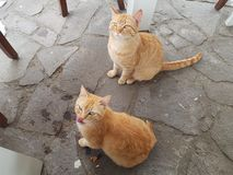 Ginger cats of Pompei royalty free stock images