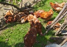 Ginger chickens having fun on spring sun. Ginger chickens having fun, on spring sun Stock Images