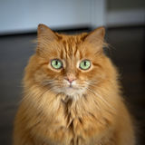 Ginger colored cat staring at viewer Stock Images