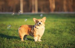Portrait of funny ginger Corgi puppy standing on green young grass on spring Sunny meadow and catching shiny soap bubbles. Ginger Corgi puppy standing on green royalty free stock photography