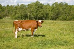 Ginger cow Royalty Free Stock Photo