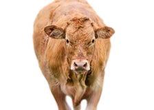 Ginger Cow no fundo branco Imagens de Stock Royalty Free