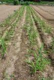 Ginger cultivation. Vegetable field landscape / Ginger cultivation royalty free stock images