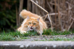 Ginger cute cat lying in the green grass Royalty Free Stock Photos