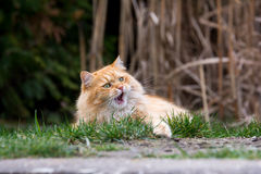 Ginger cute cat lying in the green grass Stock Images