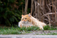 Ginger cute cat lying in the green grass Royalty Free Stock Images