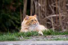 Ginger cute cat lying in the green grass Stock Photos
