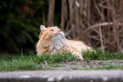Ginger cute cat lying in the green grass Stock Photography