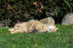 Ginger cute cat sleeping on the garden Royalty Free Stock Images