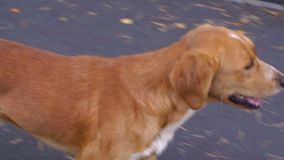 Ginger dog breathes with open mouth, walking in park and looking around. Ginger dog walking in summer park and looking around. Lost red dog breathes with open stock video