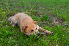 Ginger dog grass Stock Photography