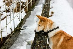 Ginger dog is looking down and waiting for her master. In snow and ice day in village in Latvia. Walking outdoor. Pet walk in a winter 2019. Breeded Russian stock photos