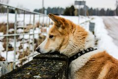 Ginger dog is looking down and waiting for her master. In snow and ice day in field village in Latvia. Walking outdoor. Pet walk in a winter 2019. Breeded royalty free stock photography