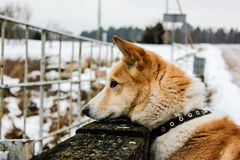 Ginger dog is looking down and waiting for her master. In snow and ice day in field village in Latvia. Walking outdoor. Pet walk in a winter 2019. Breeded royalty free stock photo