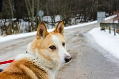 Ginger dog is looking down and waiting for her master. In snow and ice day in village in Latvia. Walking outdoor. Pet road walk in a winter 2019. Breeded stock image